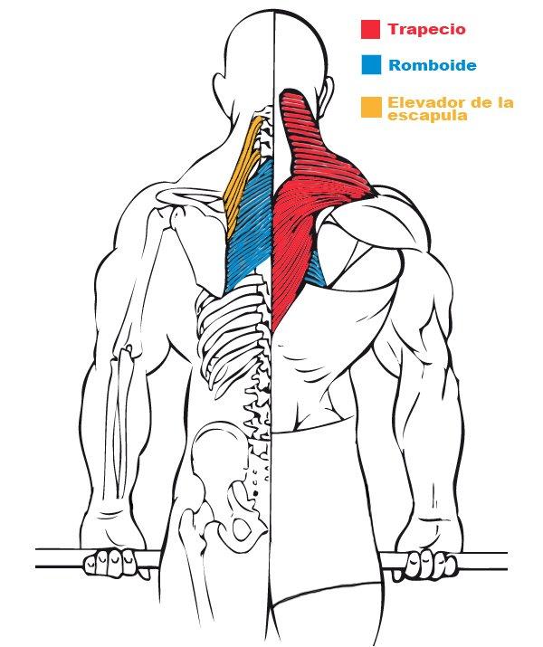Encogimiento de hombros con barra. Musculación y culturismo.
